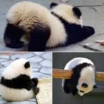 可愛いパンダの子供