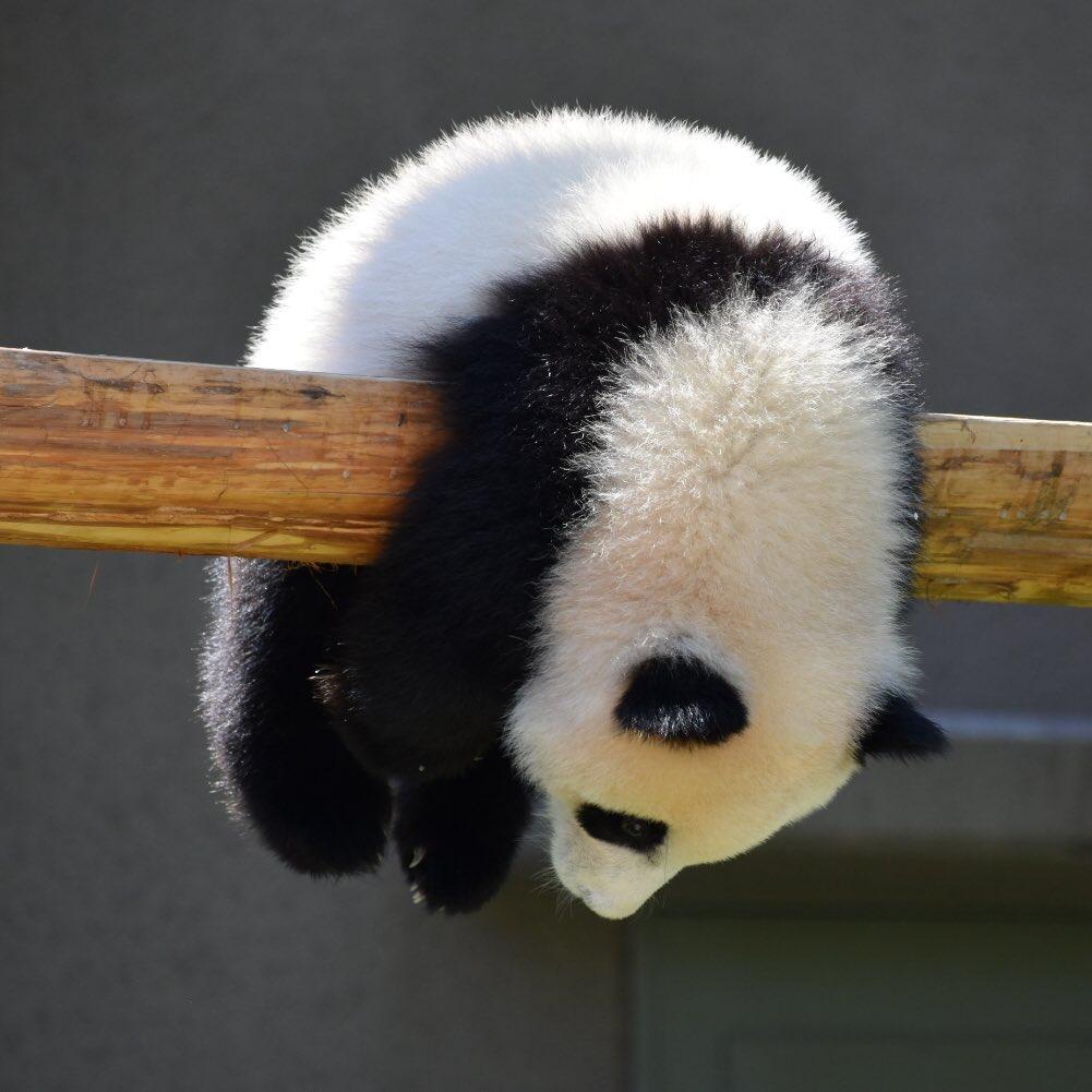 可愛いパンダの赤ちゃん